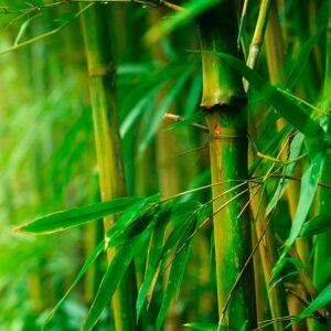 Il Bambù, l'erba sorprendente